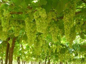 Венгерский эксперт поможет улучшить виноградники Армении