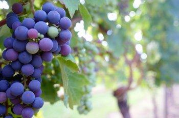 Министр сельского хозяйства Армении озвучил прогноз урожая винограда